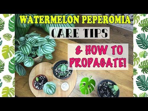 Watermelon Peperomia Care & How To Propagate! 🌱💚