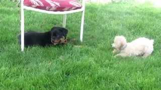 Play Time - Baby Rottie And Toy Poodle