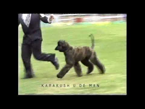11th Afghan Hound National 1998 Vic
