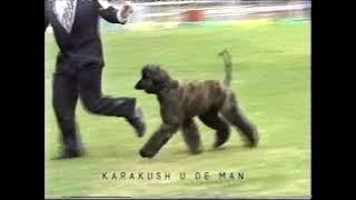 11th Afghan Hound National 1998 Vic