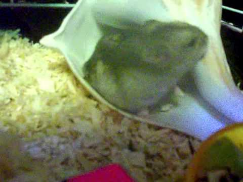cutest hamster argument ever!  Cloo and Missy fight over seashell home