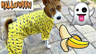 My Dog Try On Halloween Costumes.  Costume Ideas for Pets 2019