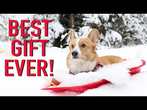 CHRISTMAS DAY - Topi the Corgi