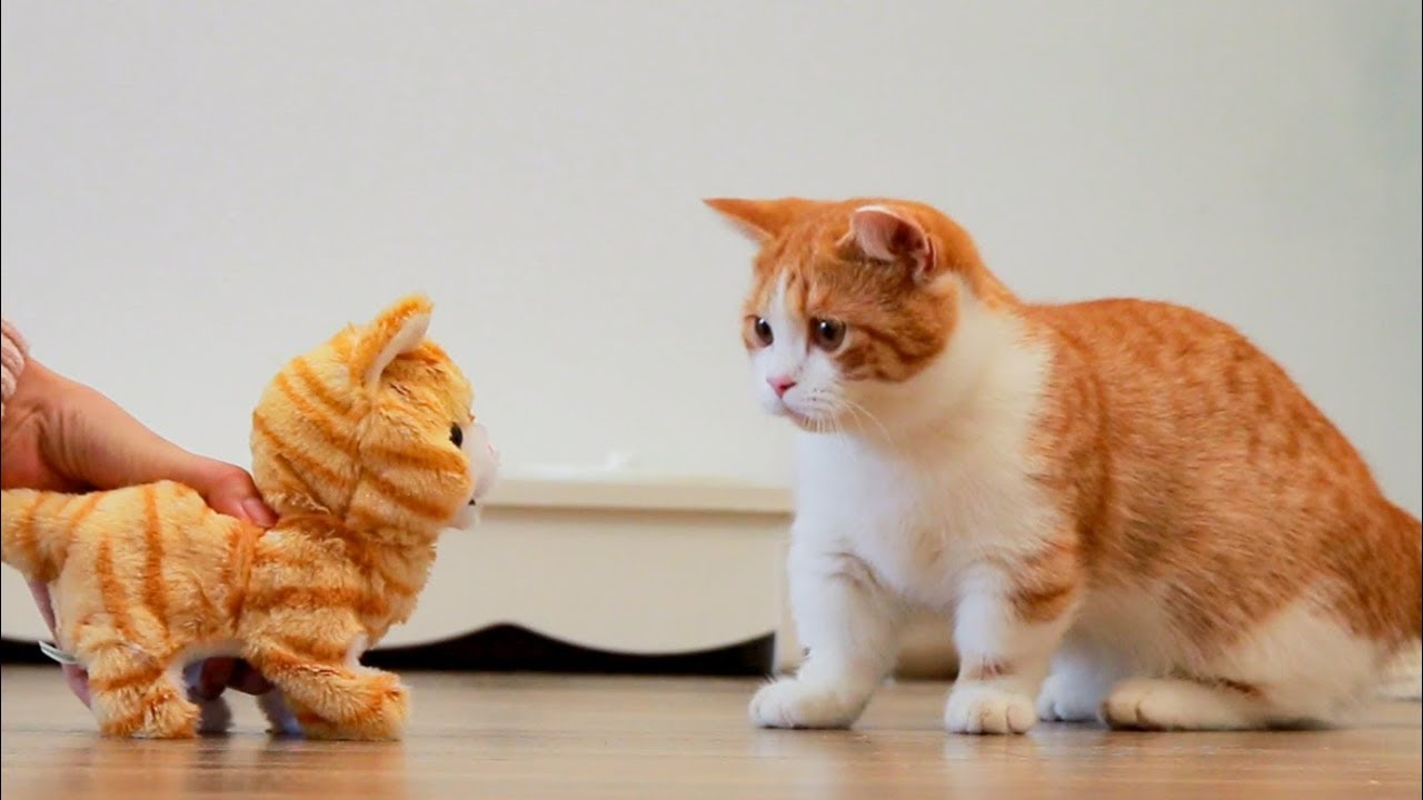 铲屎官买只小猫回家-大猫看到是橘色的-瞬间惊恐