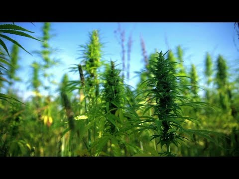 Medicinal cannabis research tip of the iceberg says Graham King