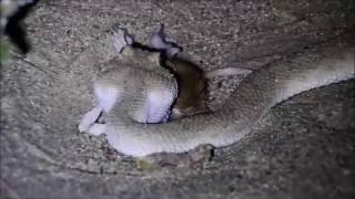 Cerastes gasperettii - Arabian hornviper swollowing a gerbil , UAE