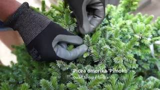 Garden Design Tip: Select Slow Growing Conifers for Small Garden