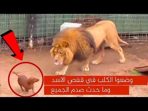وضعوا الكلب في قفص الأسد ، وما حدث ادهش الجميع!