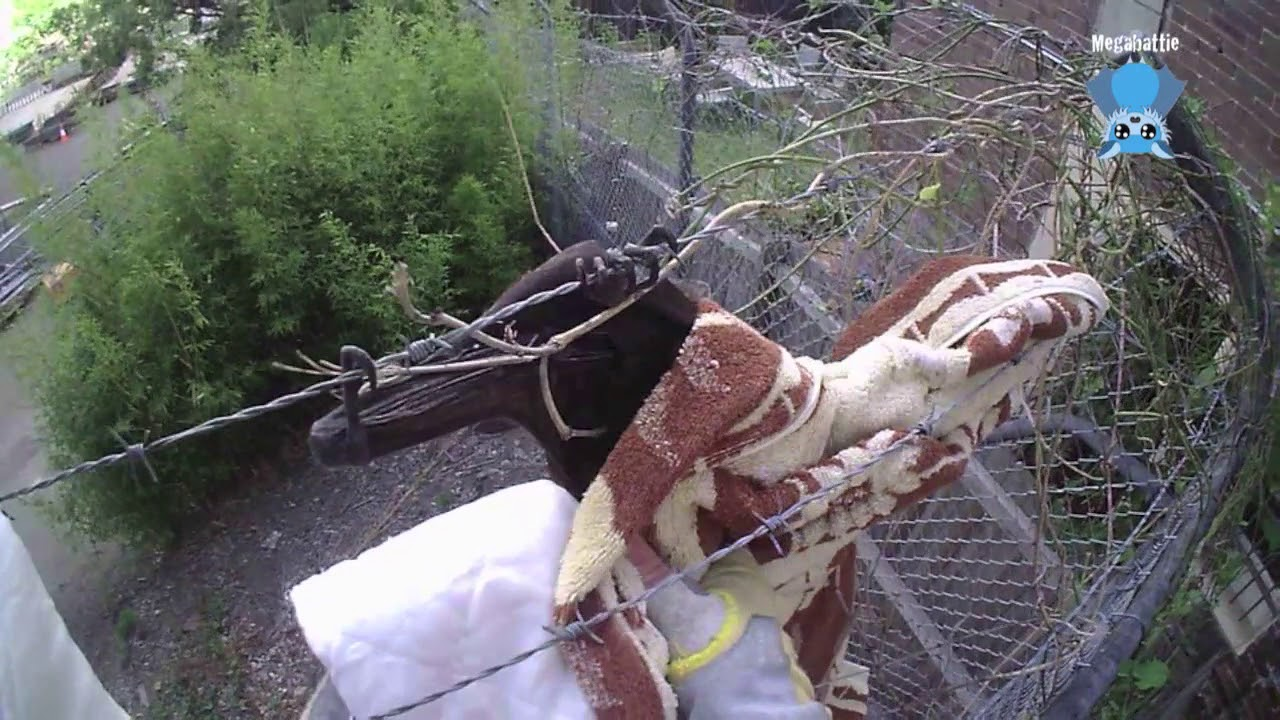 Rescuing a bat caught on barbed wire: this is Josie - YouTube