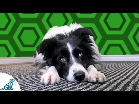 Head Down On Command- Cool Trick To Teach Your Dog!