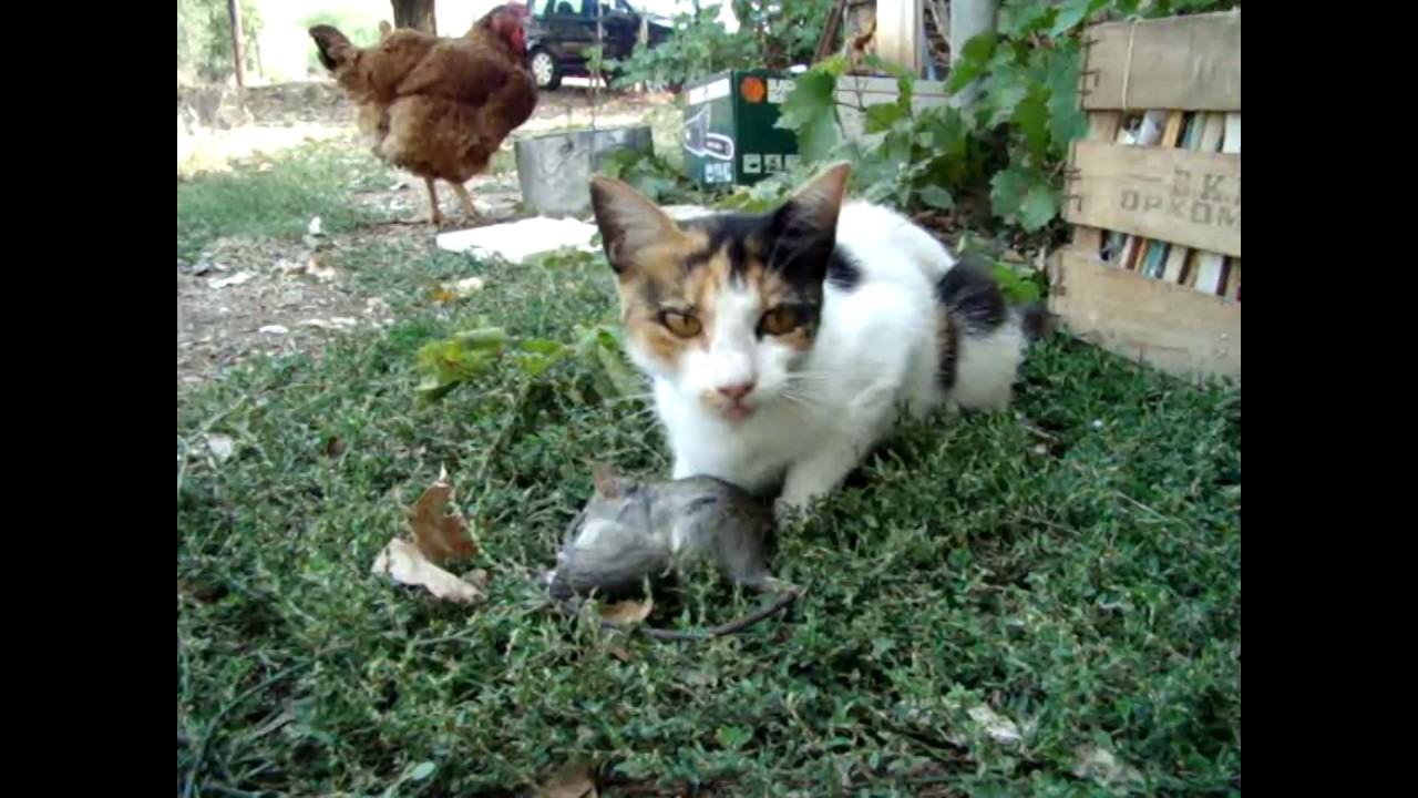 παίζοντας με τη γάτα και το ποντίκι