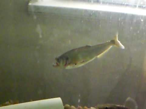 Image gallery sabertooth barracuda for Vampire fish for sale