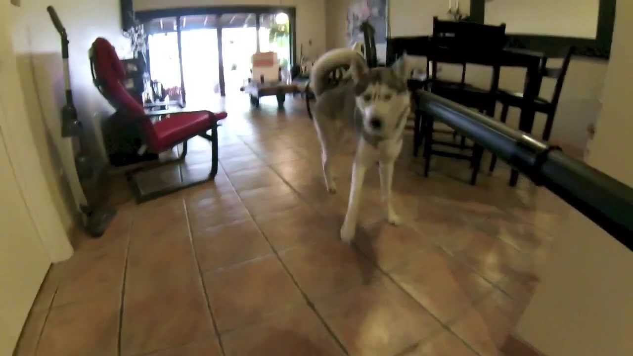 Husky vs Vacuum (HD)