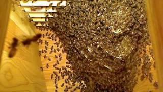 Life inside the beehive part 6 / Livet i bikupan del 6