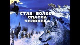 Стая волков спасла замерзающего человека.