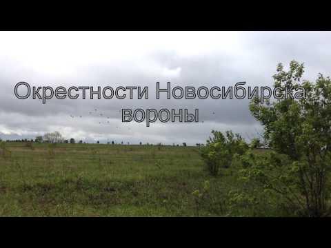 Окрестности Новосибирска,природа,черные вороны в поле. Путешествие по Новосибирской области.