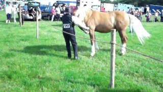 Tig at Burwarton show ,first trot up