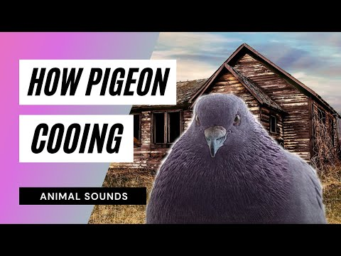 The Animal Sounds: Pigeon Cooing - Sound Effect - Animation