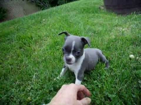 blue boston terrier puppies blue boston terrier puppy bonneblue youtube 6154