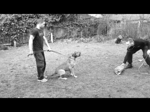 swatt-dog.com-alano-espanol