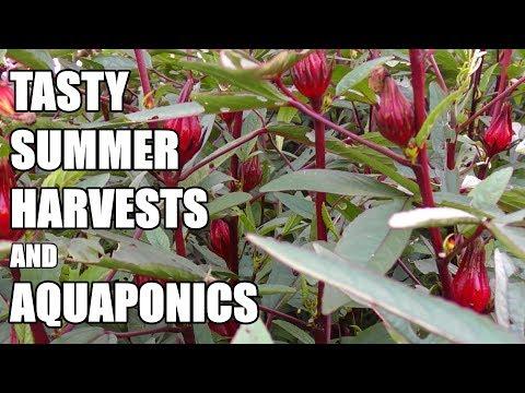 Harvesting Rosellas, Corn & Tahitian Lime + Aquaponic Update 🐟 🌱