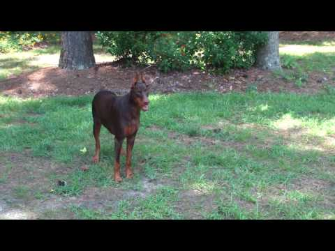 Red Doberman 'Ginger' playing and getting treats