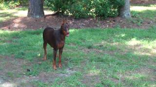 "Red Doberman ""ginger"" Playing And Getting Treats"