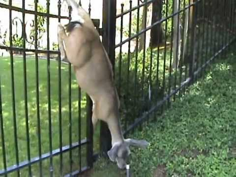 The Deer Vs Wrought Iron Fence Youtube