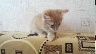 Рыжий котенок - мальчик 1 месяц