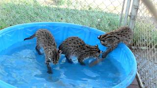 10 week old fishing cats