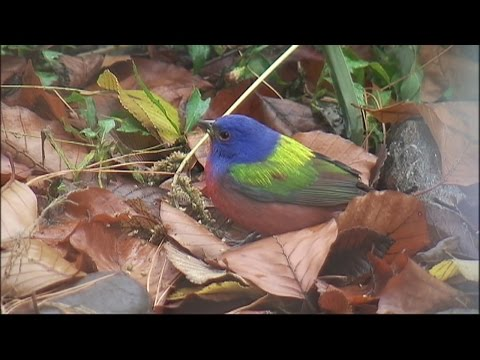 Painted Bunting Is Seen in Prospect Park