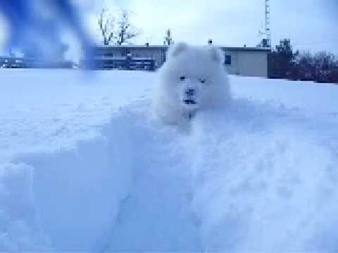 Jasper The Samoyed In The Snow..Again