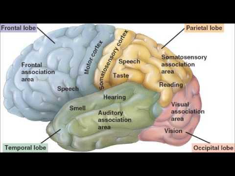 The Cerebrum - YouTube