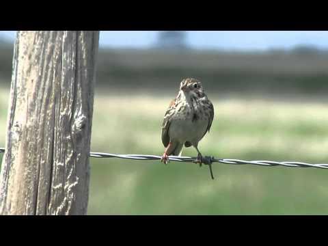 Vesper Sparrow Song, S Saskatchewan Canada June 3 2014