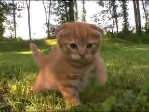 Scottish Folds Kittens for Sale, USA