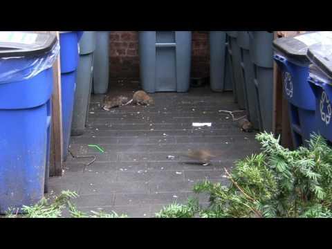 Rat Infestation @ Jared Kushner's East 4th Street Building