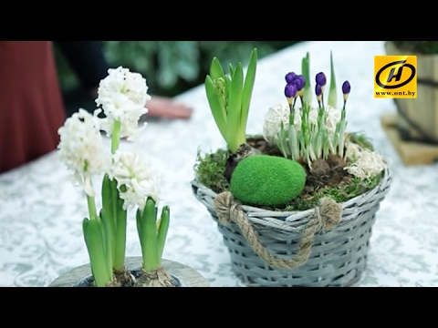 Зелёный дом: гиацинты, крокусы и нарциссы в подарок