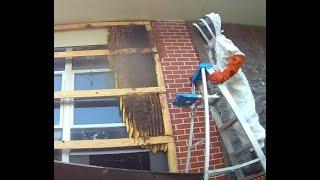 50,000 Honey Bees in a School! Demopolis, AL Hive Removal on Aug 3, 2018
