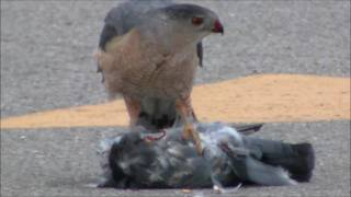 Bird on Bird Violence:  When Hawks Kill Pigeons