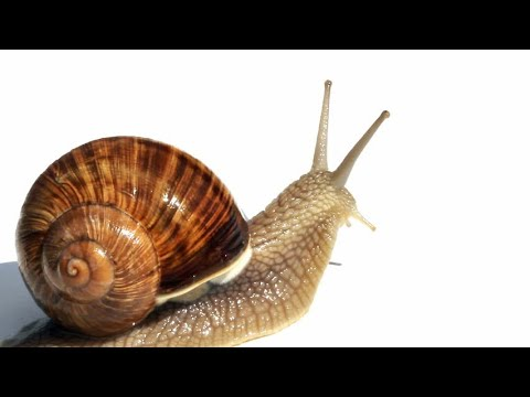 How to find + care for garden snails - YouTube
