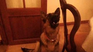 Download Zena: Dog howling to sound of wolfs