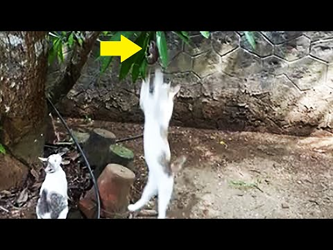 Mouse desperately trying to escape from chasing cats but failed !