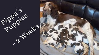 Pippa's puppies   2 week old English Springer Spaniel