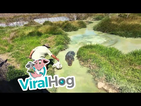 Crazy Crocodile Expert Takes One On A Ride || ViralHog