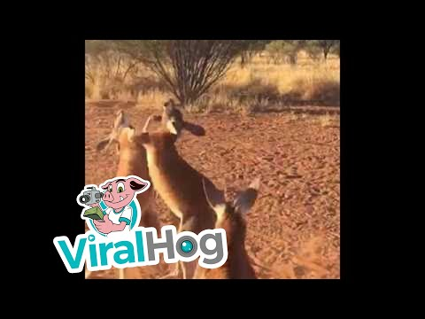 Fightclub: Kangaroo Edition