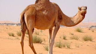 Дикие ЖИВОТНЫЕ пустыни, Развивающее видео для детей
