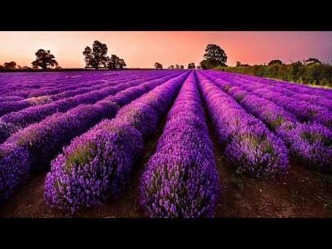 Beautiful purple flowers field (HD1080p)