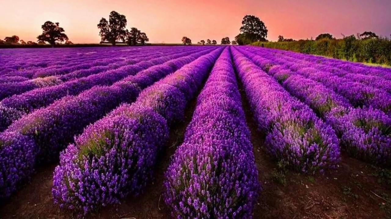 Beautiful purple flowers field hd1080p youtube beautiful purple flowers field hd1080p izmirmasajfo