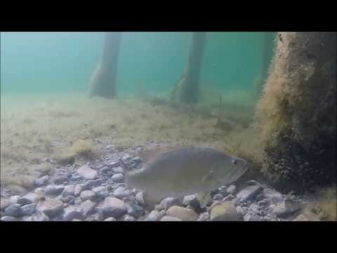 Smallmouth Bass On Spawning Bed