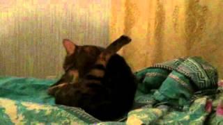 Бенгальская кошка разговаривает 1 серия смешно юмор 100500